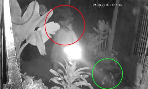 Hai cẩu tặc dùng súng điện trộm chó