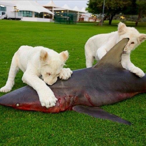 Và đây là thức ăn của thú cưng - chỉ có ở Dubai, Dubai