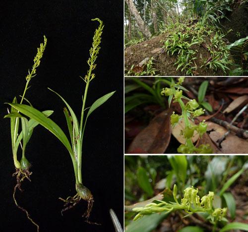 Hình ảnh cây Liparis honbaensis Aver. et Vuong.