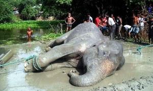 Giải cứu voi 4 tấn bị lũ cuốn từ Ấn Độ sang Bangladesh
