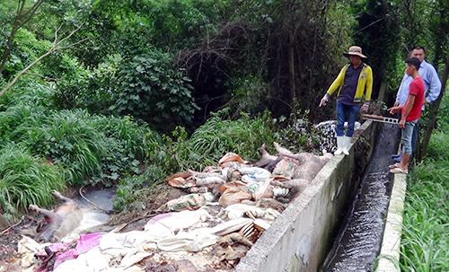 Số heo chết bị quăng bừa bãi sát sông Sài Gòn. Ảnh: Văn Trăm
