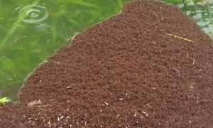 Hàng triệu kiến lửa kết thành bè mảng vượt lũ ở Mỹ