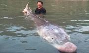 Chàng trai bắt gọn quái ngư 80 tuổi nặng gần 3 tạ