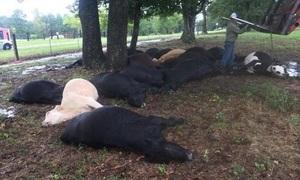 Cả đàn bò 19 con bị tia sét giật chết cùng lúc