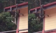 Cặp trăn khổng lồ quần nhau trên mái nhà dân ở Australia