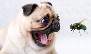 Tại sao câu 'chó ngáp phải ruồi' chỉ sự ngu ngốc?