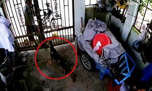 Trộm gồng mình lôi chó dính bả độc qua cổng