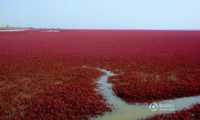 Đầm lầy chuyển màu đỏ rực ở Trung Quốc