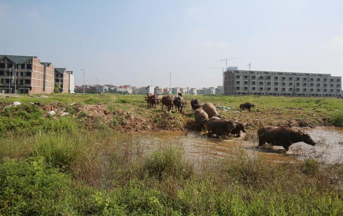 Khu đô thị dở dang, trâu bò ở trong biệt thự