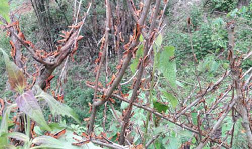 Châu chấu đang phá hại mùa màng, cây cối ở Sốp Cộp.