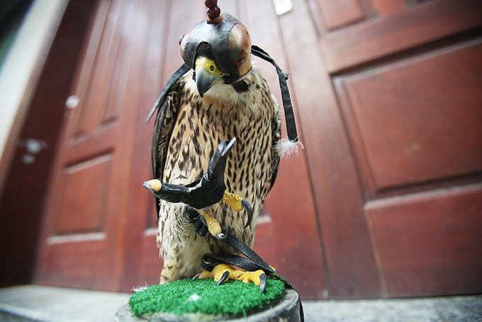 Dân Hà Nội chơi chim săn mồi