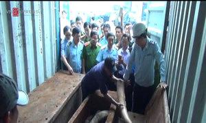 Cảnh sát khui lô ngà voi giá hàng trăm tỷ trong 12 cây gỗ
