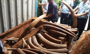 Ngà voi trị giá hàng trăm tỷ trong ruột gỗ về Sài Gòn