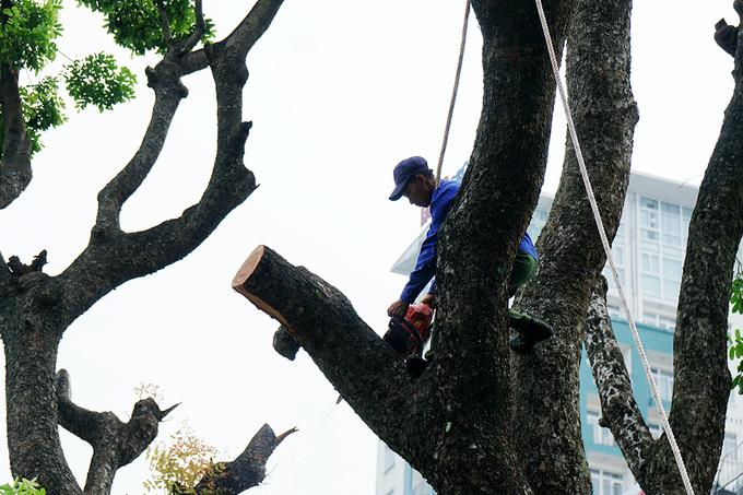 Hà Nội bắt đầu dịch chuyển hàng cây cổ thụ ở Kim Mã