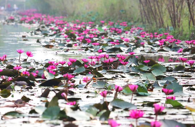 Suối Yến chùa Hương rực rỡ sắc hoa súng