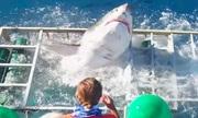 Cá mập trắng đói mồi vùng vẫy thoát khỏi lồng sắt thợ lặn
