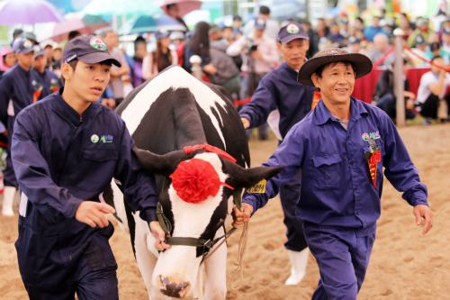 Cuộc thi Hoa hậu bò sữa diễn ra vào ngày 15/10 hàng năm, là ngày hội của những người chăn nuôi bò sữa trên cao nguyên Mộc Châu. Cuộc thi năm nay chọn 126 cô bò từ hơn 20.000 cô bò tại Mộc Châu vào vòng chung kết.
