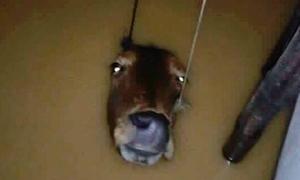 Bức ảnh con bò chìm trong nước lũ gây xúc động