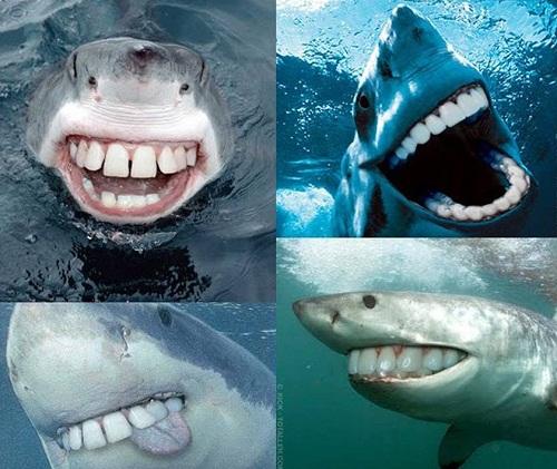 Khi cá mập có hàm răng đều đẹp như con người.