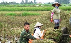4.000 bộ đội gặt lúa chạy bão giúp dân