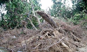 Hàng chục nghìn cây bưởi Phúc Trạch bật rễ, chết khô