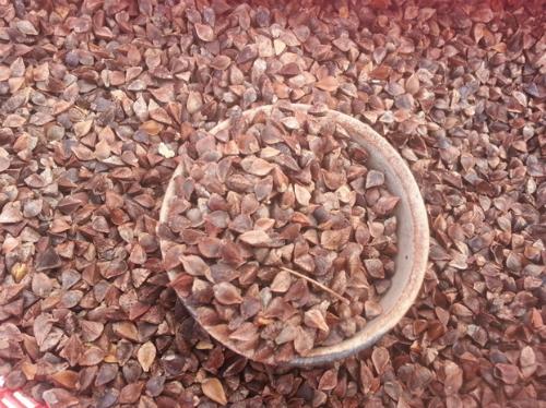Hạt tam giác mạch chỉ bé bằng nửa hạt đậu đỗ. Ảnh: phuot.