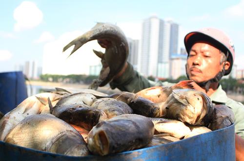 cá chết thu gom chủ yếu là ca to, nhiều con lên đến 4-5kg.