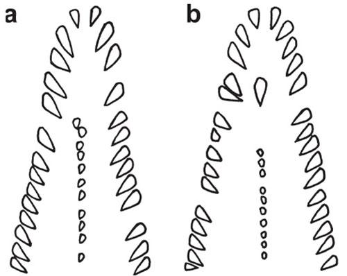 Cấu tạo bộ răng và xương hàm của loài Gymnothorax minor: a. Con đực, b. Con cái