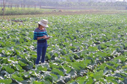 Mô hình trồng rau sạch tại Yên Phú, Hưng Yên. Ảnh: thanhnien