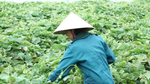 Người nông dân Tam Đảo đang thu hoạch rau su su. Ảnh: bizmedia.