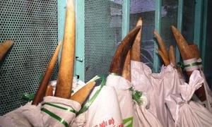 Hàng trăm ngà voi trong 2 container gỗ ở Sài Gòn