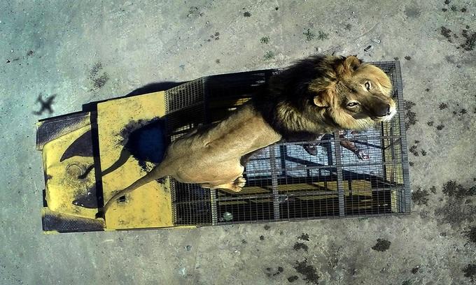 Vườn thú nhốt người trong lồng để sư tử ngắm nghía
