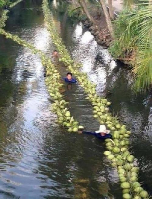 Hái dừa ở miền Tây.
