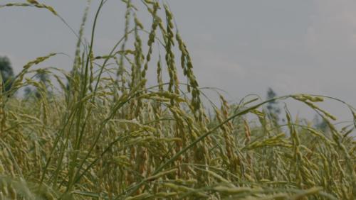 Những bông lúa nếp cái hoa vàng đang đong đưa trước gió. Ảnh: bizmedia