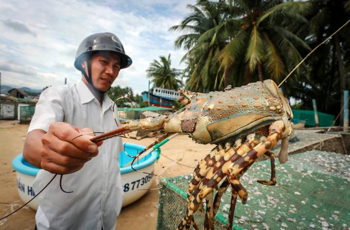 Tôm hùm chết hàng loạt sau lũ ở Phú Yên