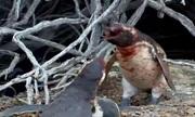 Bị vợ phản bội, chim cánh cụt huyết chiến với tình địch