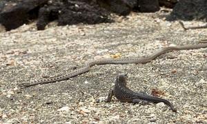 Cự đà con đào thoát ngoạn mục giữa đàn rắn bủa vây