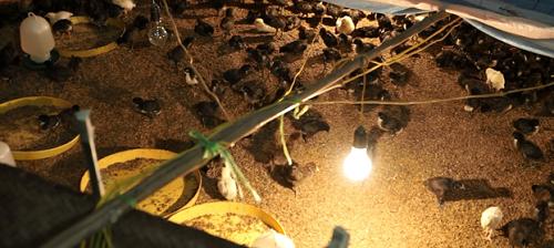 Quy trình sản xuất trứng ở Vĩnh Tường được đầu tư kỹ lưỡng từ khâu chọn con giống. Ảnh: BizMedia