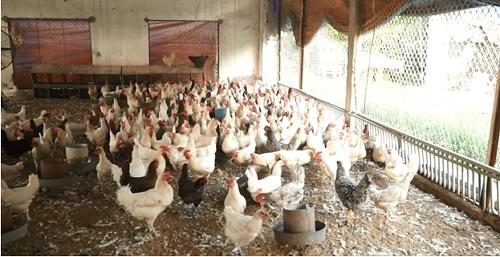 Những con gà đẻ trứng không chỉ được chăm sóc kỹ mà chuồng trại thường xuyên được dọn dẹp, phun sát trùng thường xuyên đển đảm bảo khỏe mạnh. Ảnh: BizMedia