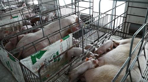 Bên trong trang trại chăn nuôi lợn của anh Tuấn. Ảnh: bizmedia