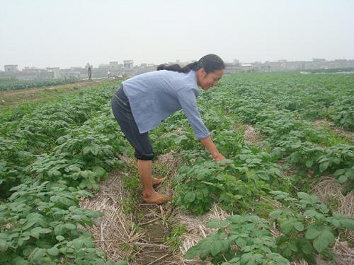 Giống khoai tây ít bệnh Solara và Diamart đã được Trung tâm Giống cây trồng Nam Định nhân giống bằng cách trồng khí canh và thử nghiệm thành công. Ảnh: khuyennongvn