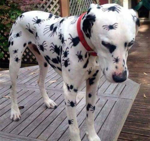 Khi chó đốm tham gia Halloween.