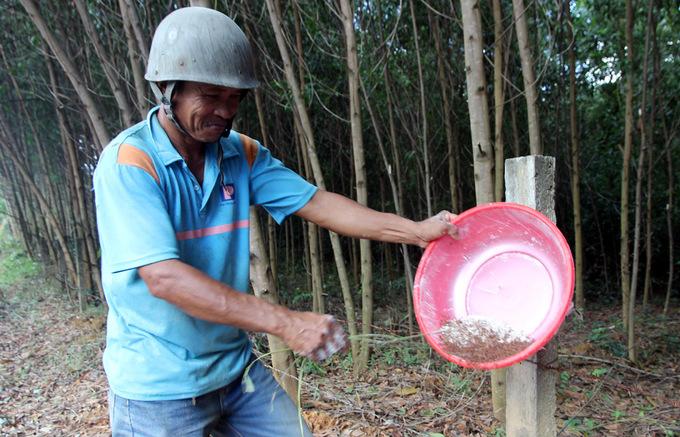 Săn trứng kiến kiếm tiền triệu ở Quảng Nam