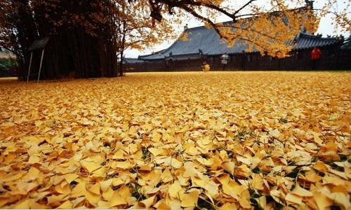 Cây dẻ quạt nằm ngay cạnh chùa Cổ Quan Âm Thiền Tự ở núi Chung Nam, Thiểm Tây.