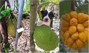 1.001 cách chống trộm trái cây độc nhất vô nhị tại Việt Nam