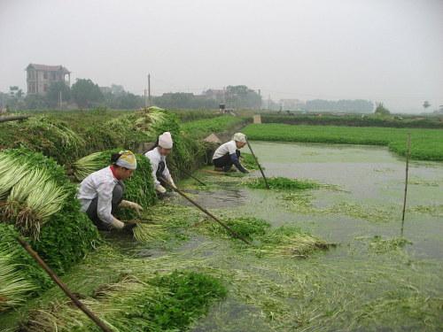 Người dân đang thu hoạch rau cần tại đồng ruộng. Ảnh: hiephoa.net