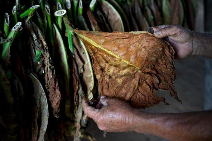 Bên trong trang trại sản xuất xì gà nổi tiếng Cuba