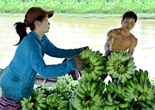 Nhiều nhà vườn ở Cà Mau lao đau vì chuối tưới đến lứa thu hoạch nhưng không có đầu ra. Ảnh: Phúc Hưng