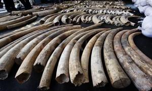 TP HCM bắt giữ lượng ngà voi lớn chưa từng có trong 2 tháng qua
