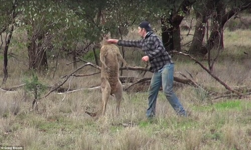nguoi-dam-kangaroo-giai-cuu-cho-cung-bi-dieu-tra
